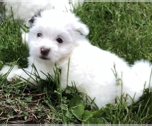 Havanese Puppy for Sale in OTWAY, Ohio USA