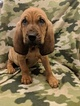 Small #2 Bloodhound