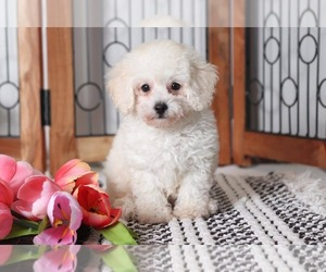 Poodle (Toy) Dog for Adoption in NAPLES, Florida USA