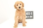 Goldendoodle Puppy For Sale in NAPLES, FL, USA