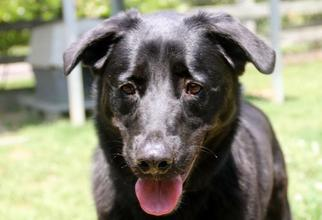 Julio - Labrador Retriever Dog For Adoption