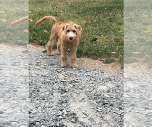 Labradoodle Puppy for sale in BOONE, NC, USA