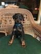 Doberman Pinscher Puppy For Sale in SAFETY HARBOR, FL, USA