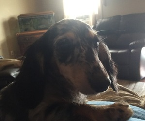 Dachshund Dog for Adoption in SPRINGDALE, Arkansas USA