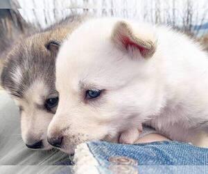 Alusky Puppy for sale in BRADENTON, FL, USA
