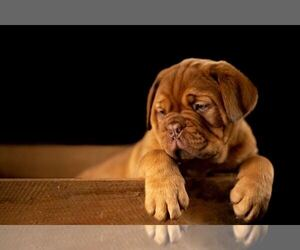 American Pit Bull Terrier Puppy for sale in Bertrix, Wallonia, Belgium