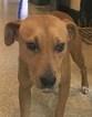 Labrador Retriever-Unknown Mix Dog For Adoption in Fredericksburg, VA
