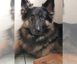 Father of the German Shepherd Dog puppies born on 05/17/2021