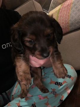 View Ad Dachshund Litter Of Puppies For Sale Near Tennessee