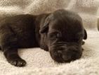 Labrador Retriever Puppy For Sale in LONG BEACH, WA, USA