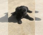 Small #4 Australian Shepherd-Poodle (Miniature) Mix