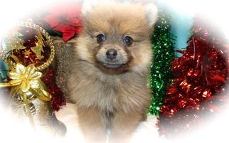 Pomeranian Puppy For Sale in HAMMOND, IN, USA
