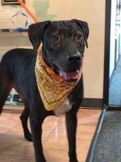 Emerson - Labrador Retriever / Mixed (short coat) Dog For Adoption
