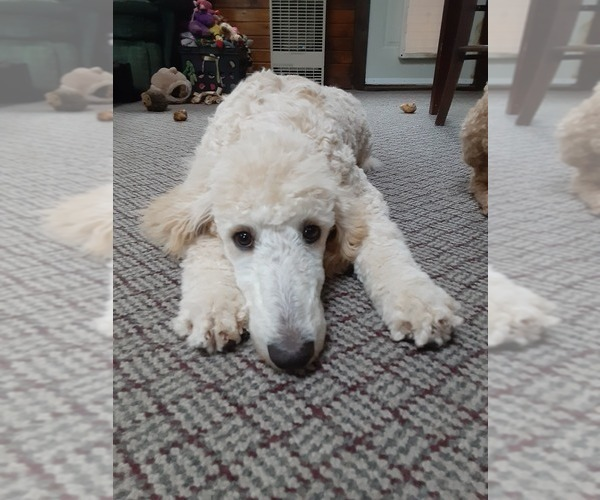 Medium Photo #4 Poodle (Standard) Puppy For Sale in WAUSAUKEE, WI, USA