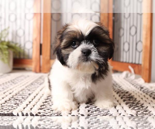 Medium Photo #1 Shih Tzu Puppy For Sale in NAPLES, FL, USA