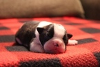Boston Terrier Puppy For Sale in WICHITA, KS, USA