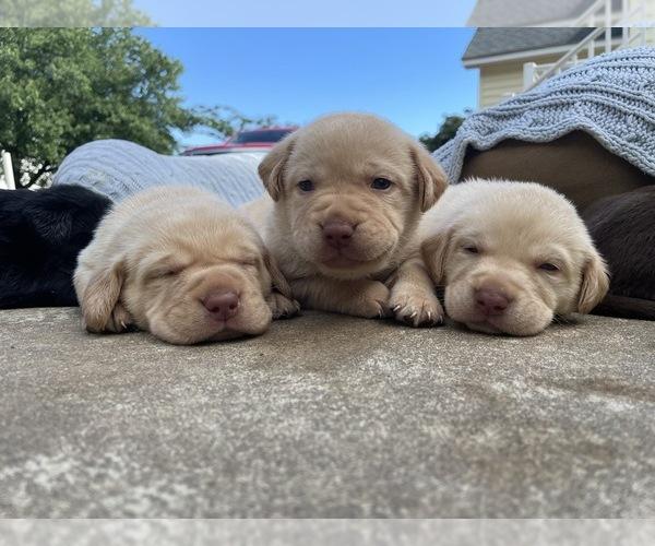 Medium Photo #7 Labrador Retriever Puppy For Sale in ARLINGTON, VA, USA