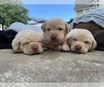Small Photo #7 Labrador Retriever Puppy For Sale in ARLINGTON, VA, USA