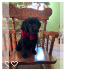 Golden Labrador Puppy for Sale in GASTON, Oregon USA