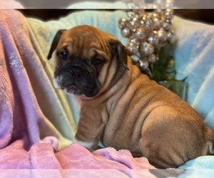 English Bulldog Puppy for Sale in HAMDEN, Connecticut USA
