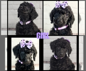 Poodle (Standard) Puppy for Sale in ARDMORE, Oklahoma USA
