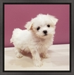 Maltese Puppy For Sale in EAST MEADOW, NY, USA