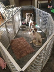 Pointer Puppy For Sale in MC DONALD, TN, USA