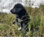 Puppy 5 Karelian Bear Dog