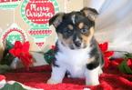 Pembroke Welsh Corgi Puppy For Sale in MOUNT JOY, PA,
