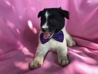 Australian Cattle Dog Puppy For Sale in PEACH BOTTOM, PA,