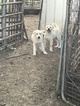 Anatolian Shepherd-Great Pyrenees Mix Puppy For Sale in LINCOLN, IL, USA