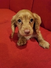 Dachshund Puppy For Sale in HILLSBORO, OR, USA