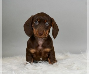 Dachshund Puppy for Sale in WARSAW, Indiana USA