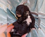 Puppy 3 Havanese-Poodle (Toy) Mix