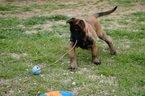 Belgian Malinois Puppy For Sale in NOBLE, Oklahoma,