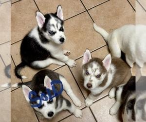 Siberian Husky Puppy for sale in SYCAMORE, IL, USA