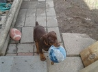 Doberman Pinscher Puppy For Sale in PADUCAH, Kentucky,