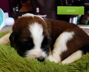 Saint Bernard Puppy For Sale in NEW LONDON, MN, USA