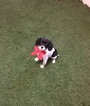 Cavalier King Charles Spaniel Puppy For Sale in WEST POINT, Virginia,