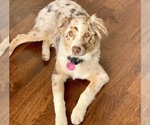 Small Photo #8 Australian Shepherd Puppy For Sale in SPOKANE, WA, USA