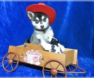 Alaskan Klee Kai Puppy for Sale in NORWOOD, Missouri USA