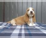 Small #5 Basset Hound