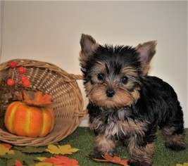 View Ad: Yorkshire Terrier Puppy for Sale near Washington
