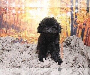 Poodle (Toy) Dog for Adoption in LAS VEGAS, Nevada USA