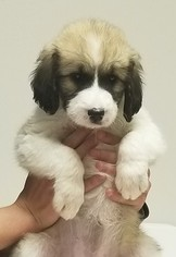Pyredoodle Puppy For Sale in GRAND SALINE, TX, USA