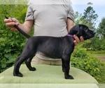 Puppy 12 Presa Canario