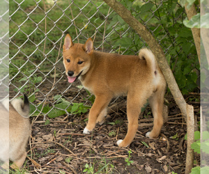 Shiba Inu Dog for Adoption in MILWAUKEE, Wisconsin USA