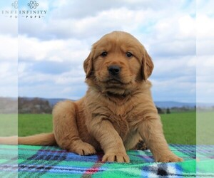Golden Retriever Puppy for sale in WAYNESBORO, PA, USA