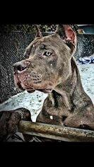 Cane Corso Puppy for sale in OAK LAWN, IL, USA