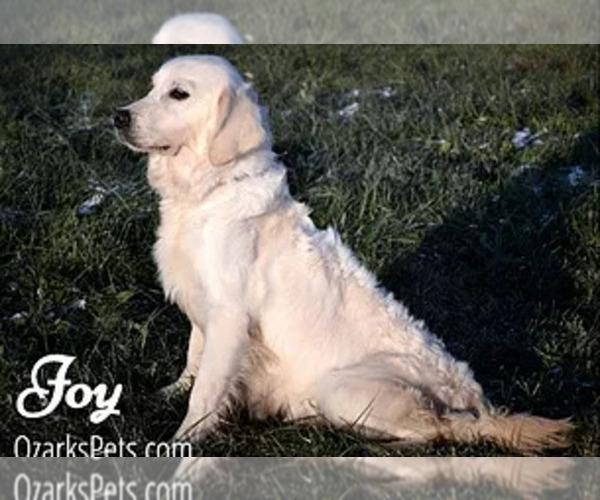 Medium Photo #1 Goldendoodle Puppy For Sale in CEDAR GAP, MO, USA